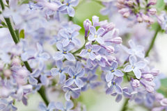 Blooming lilac bush. Flower petals macro view. soft focus. soft focus, shallow depth of field Stock Images