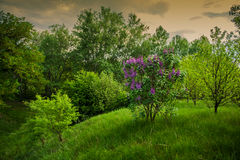 Blooming lilac bush in the park Stock Photography