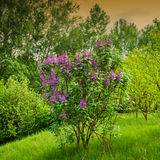 Blooming lilac bush in the park Royalty Free Stock Photography