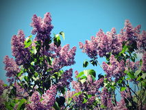 Blooming lilac Royalty Free Stock Photography