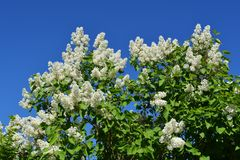 Blooming lilac bush with white flowers against clear blue sky.  stock photography