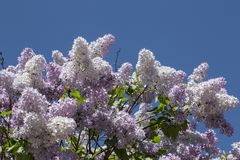 Blooming lilac bushes on blue sky background Stock Photography