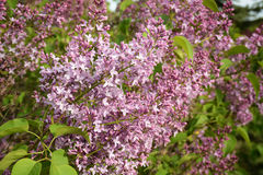 Blooming lilac close up Royalty Free Stock Photo