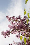 Blooming lilac close up Royalty Free Stock Photography