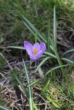 Blooming lilac crocus in the park in the spring. Nature photo Royalty Free Stock Images