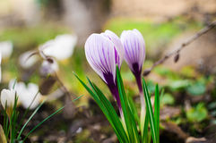 Blooming lilac crocus. Spring flower background. Stock Photography