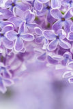 Blooming lilac flowers Royalty Free Stock Photos