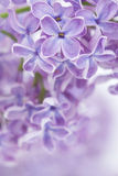 Blooming lilac flowers Stock Images