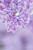 Blooming lilac flowers Royalty Free Stock Images