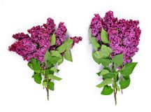 Blooming lilac flowers. Stock Photos