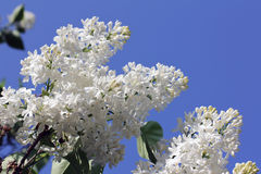 Blooming lilac flowers Stock Photography