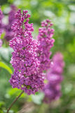 Blooming lilac flowers in the garden. Stock Image