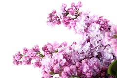 Blooming lilac. Flowers isolated on a white Stock Image