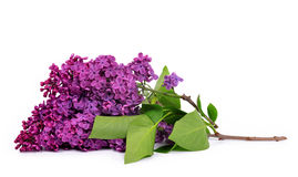 Blooming lilac flowers Stock Photos