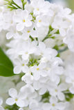 Blooming lilac flowers. Royalty Free Stock Photos
