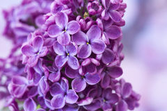 Blooming lilac flowers Royalty Free Stock Image