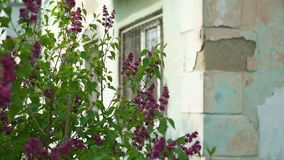 Blooming Lilac Flowers Near Run Down House stock video footage