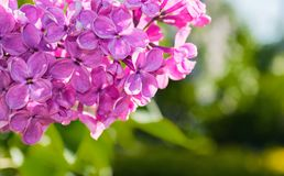 Blooming lilac flowers, spring flower background with lilac flowers in the spring sunny garden Stock Photos