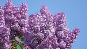 Blooming lilac stock footage