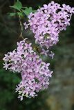 blooming lilac in the garden on a natural background. royalty free stock image