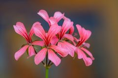 Salmon pink flowers of ivy leaved geranium royalty free stock photo