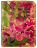 Blooming lilac. Old postcard. Stock Image
