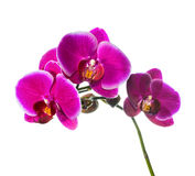 Blooming lilac orchid with bandlet isolated Royalty Free Stock Images