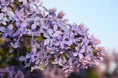 Blooming lilac in a park royalty free stock photos