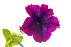 Blooming lilac petunia flower is isolated on white background, c Stock Photo