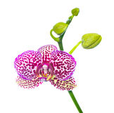 Blooming lilac spotty orchid isolated Royalty Free Stock Photo