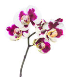 Blooming lilac spotty orchid, phalaenopsis is isolated on white Stock Photography