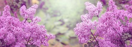 Blooming Lilac, spring background, banner royalty free stock photos