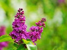 Blooming lilac Royalty Free Stock Photos