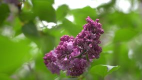 Blooming lilac in the spring season. Purple Serenus with sunshine. Close-up. 4k. Blooming lilac in the spring season. Purple Serenus with sunshine. Close-up stock video footage