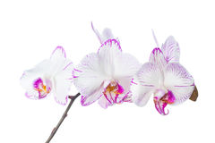 Blooming lilac striped orchid isolated Stock Photo