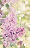Blooming lilac, tinted Stock Images