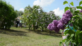Blooming lilac tree branch and blurred tourist pregnant woman stock footage