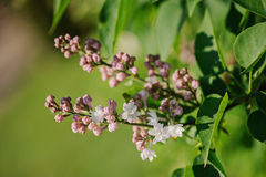 Blooming lilac tree close up in spring sunny garden Royalty Free Stock Photos