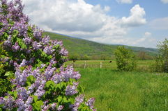Blooming lilac tree in field Stock Photography