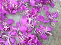 Blooming lilac willow herb Ivan tea on a wooden surface. As background royalty free stock photography