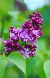 Blooming lilacs Stock Images