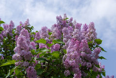 Blooming lilacs Royalty Free Stock Image