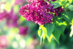 Free Blooming Lilacs Royalty Free Stock Images - 23060679