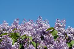 Blooming lilacs on blue sky background stock photos