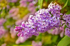 Blooming lilacs. Bunch of blooming lilacs. Close up. Floral background Stock Images