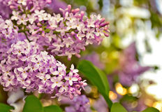 Blooming lilacs. Bunches of blooming lilacs. Close up. Floral background Stock Photo