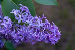 Blooming lilacs in a city park on a spring day stock photo