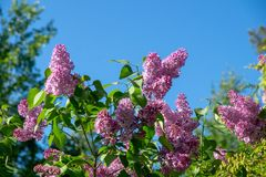 Blooming lilacs in a city park on a sunny spring day against the blue sky royalty free stock photography