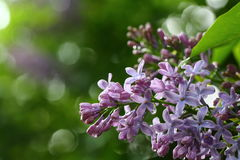Blooming lilacs close-up. Bunch of blooming lilacs with raindrops Stock Photography
