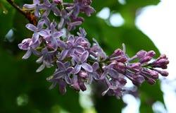 Blooming lilacs close-up Royalty Free Stock Photo